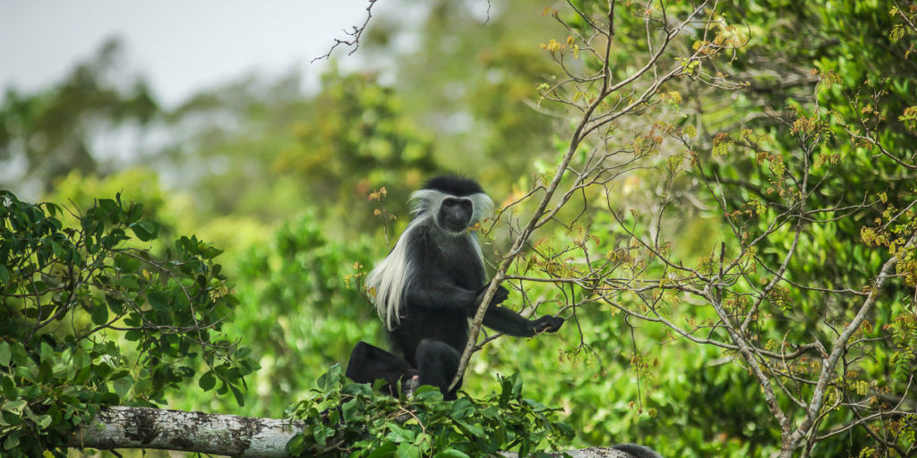 curious Colobus monkey very close to the restaurant