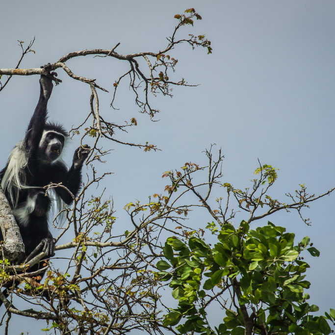Colobus monkeys come closer and closer and for good!