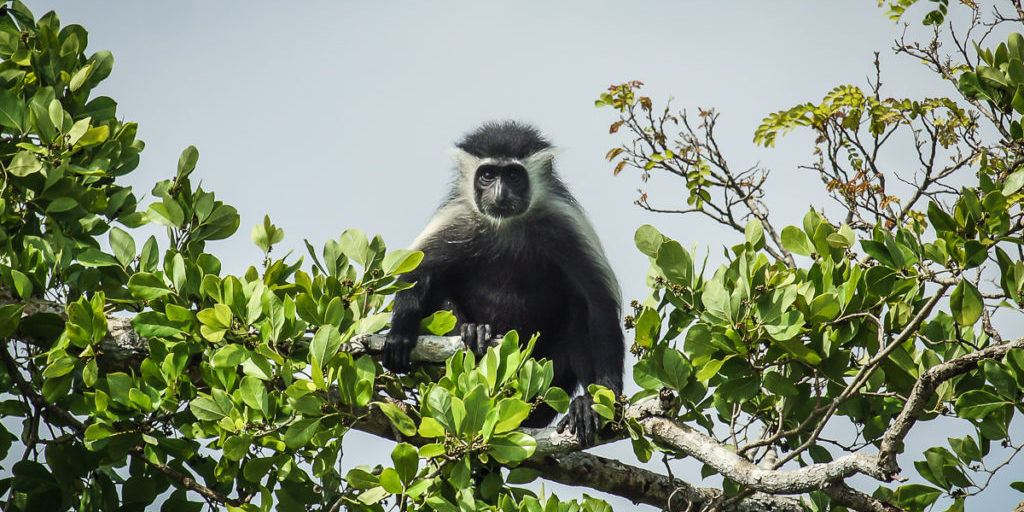 Colobus monkey next to the Mkwaju restaurant