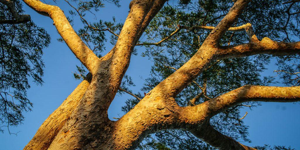 Miseni tree at the sacred hill